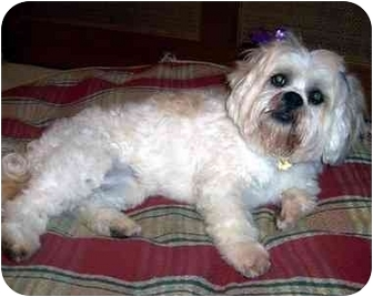 Lhasa Apso Dog for adoption in Los Angeles, California - SERENA