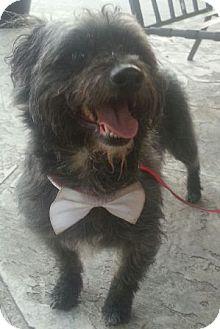 Shih Tzu/Maltese Mix Dog for adoption in Oswego, Illinois - Langley
