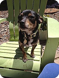Chihuahua Mix Dog for adoption in Sunnyvale, California - Dash