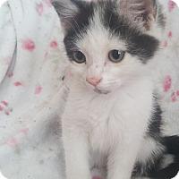 Adopt A Pet :: Lilly Vanessa - Davis, CA