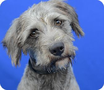 Terrier (Unknown Type, Small)/Petit Basset Griffon Vendeen Mix Dog for adoption in LAFAYETTE, Louisiana - MOSPY