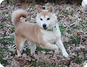 Shiba Inu Dog for adoption in Manassas, Virginia - Ichigo