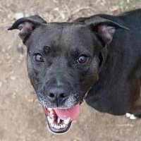 Labrador Retriever Dog for adoption in Memphis, Tennessee - Bella