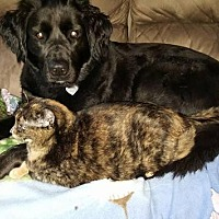 Domestic Shorthair Cat for adoption in Mt. Clemens, Michigan - Tortie