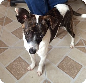 Rat Terrier Mix Puppy for adoption in Newport Beach, California - Peanut