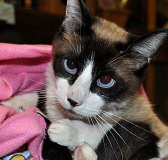 Siamese Cat for adoption in Rosemead, California - Zeus
