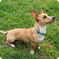 Adopt A Pet :: *Marco (Polo) - PENDING - Westport, CT