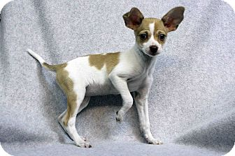 Chihuahua Mix Puppy for adoption in Westminster, Colorado - BUTTERCUP