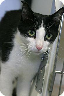Domestic Shorthair Cat for adoption in Staunton, Virginia - Clyde