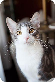 Domestic Shorthair Kitten for adoption in Los Angeles, California - Cooper