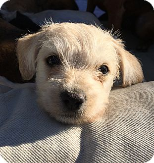 Terrier (Unknown Type, Small) Mix Puppy for adoption in Emeryville, California - JOEY BIDEN