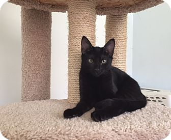 Domestic Shorthair Kitten for adoption in Brea, California - L U N A