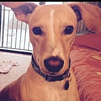 Whippet Mix Dog for adoption in Locust Fork, Alabama - Copper R - Special Needs