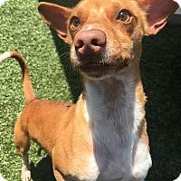 Adopt A Pet :: Copper - Chula Vista, CA