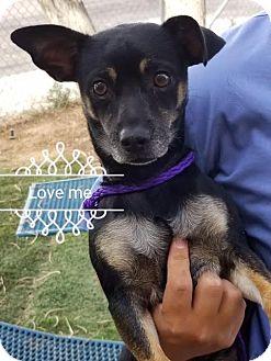Chihuahua Mix Dog for adoption in Las Vegas, Nevada - Camero