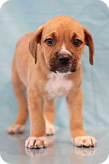 Boxer Mix Puppy for adoption in Waldorf, Maryland - Alex