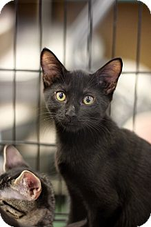 Bombay Kitten for adoption in Richmond, Virginia - Bobbin