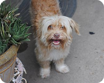 Maltese Mix Dog for adoption in Fort Atkinson, Wisconsin - Marvin