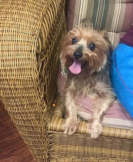 Yorkie, Yorkshire Terrier Dog for adoption in Spartanburg, South Carolina - Brodie of Gray Court