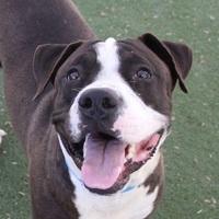 Adopt A Pet :: *OSCAR - Las Vegas, NV