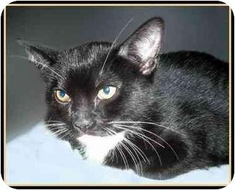 Domestic Mediumhair Kitten for adoption in San Clemente, California - CHEVY