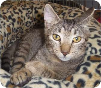 Domestic Shorthair Kitten for adoption in Orlando, Florida - Jackson