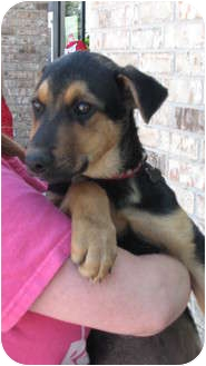 German Shepherd Dog/Anatolian Shepherd Mix Puppy for adoption in Arlington, Texas - Susan