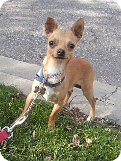 Chihuahua Dog for adoption in Detroit, Michigan - Peppy-Pending!