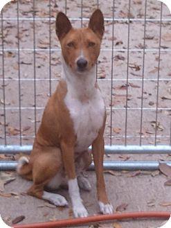Basenji Dog for adoption in Seminole, Florida - Anubis