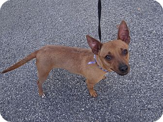 Chihuahua/Dachshund Mix Dog for adoption in Peachtree City, Georgia - Truman