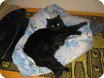 Domestic Longhair Cat for adoption in Island Park, New York - Frannie