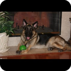 German Shepherd Dog Dog for adoption in Houston, Texas - Bach