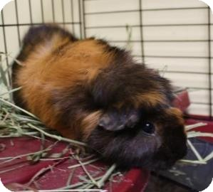 Guinea Pig for adoption in West Des Moines, Iowa - Patches