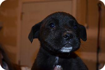 Labrador Retriever Mix Puppy for adoption in Westminster, Colorado - Cyclone