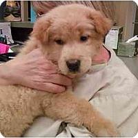 Adopt A Pet :: Soki - Greenville, SC