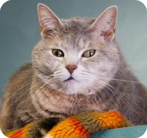 Domestic Shorthair Cat for adoption in West Des Moines, Iowa - Missy