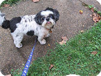 Shih Tzu Dog for adoption in Wilmington, Delaware - Franklin