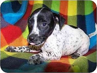 Rat Terrier/Feist Mix Puppy for adoption in Old Fort, North Carolina - Snoopy