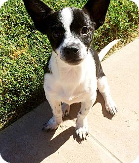 Chihuahua Mix Puppy for adoption in Chandler, Arizona - Freckles