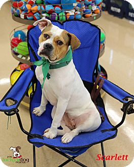 American Bulldog/Boxer Mix Dog for adoption in Alpharetta, Georgia - Scarlett