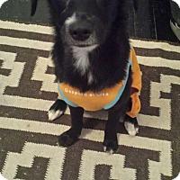 Adopt A Pet :: Beuatiful Bentley - Madison, NJ