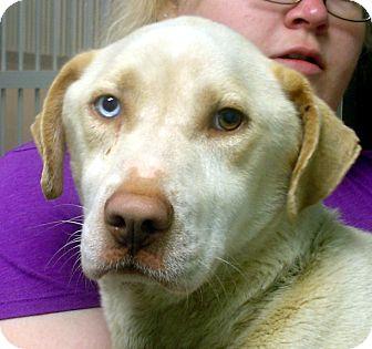 Labrador Retriever/Husky Mix Dog for adoption in Greencastle, North Carolina - Jack