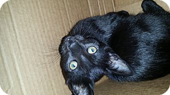 Domestic Mediumhair Kitten for adoption in San Dimas, California - Jet