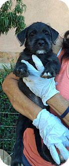 Labrador Retriever/Poodle (Miniature) Mix Puppy for adoption in Thousand Oaks, California - Giles