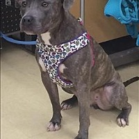 American Staffordshire Terrier Mix Dog for adoption in Raleigh, North Carolina - Anna