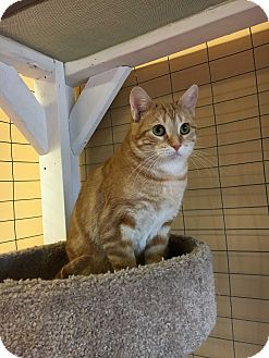 Domestic Shorthair Cat for adoption in Branson, Missouri - Miss Alice