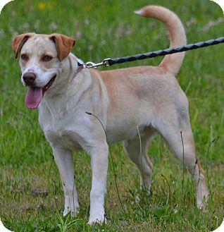 Harrier Mix Dog for adoption in Lebanon, Missouri - Ross