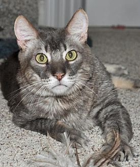 Domestic Shorthair Cat for adoption in Roseville, California - Toshia