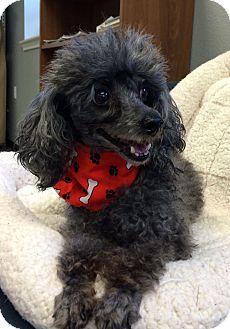 Toy Poodle Dog for adoption in San Leon, Texas - Zorro