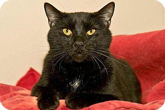 Domestic Shorthair Cat for adoption in Cashiers, North Carolina - Wayne